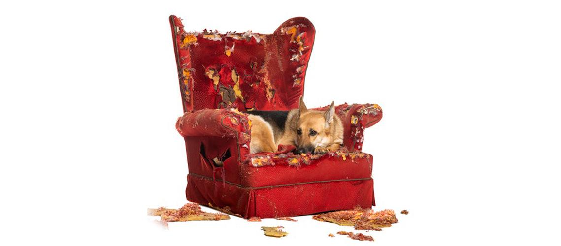 perro con problemas de comportamiento, sobre un sofá destrozado