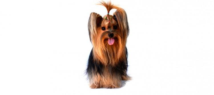 perro con pelo liso y desenredado tras pasar por peluquería canina