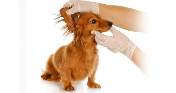 Clínica Veterinaria Villava Limpieza de oídos
