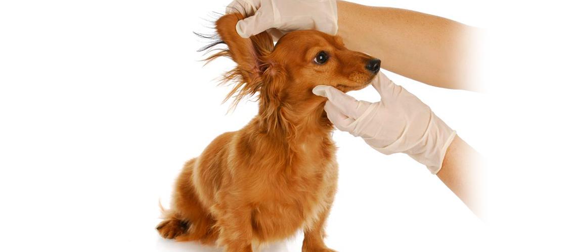 peluquera canina preparando a un perro para limpiarle los oidos