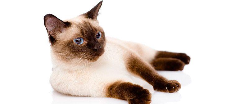 Caracteristicas del Gato Siamés