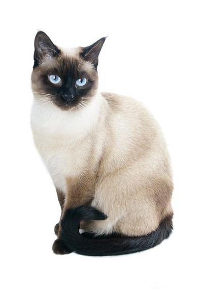Gato Siamés Sentado