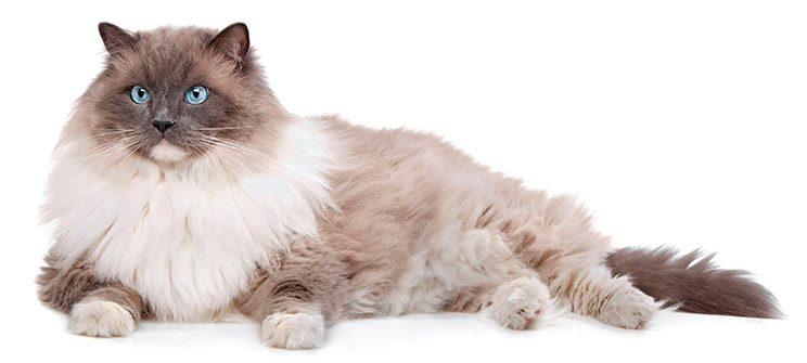 Gatos ragdoll, caracteristicas y cuidados